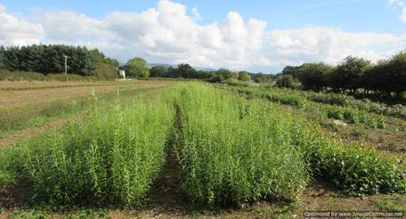 Cumbria tree Growers Ltd. Salix Viminalis